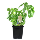 Picture of Basil per pot